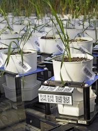 Der Bundesverband Deutscher Pflanzenzüchter betont, dass eine nachhaltige Landwirtschaft und der Schutz natürlicher Ressourcen in einem hohen Maß vom Züchtungsfortschritt abhängig sind.