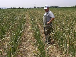 So können Maisbestände aussehen, wenn es nicht regnet.