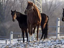 Haben sie einen trockenen Unterstand, werden nicht geschoren und im Winter angepasst trainiert, können auch Warmblüter der Kälte ohne Decke trotzen.