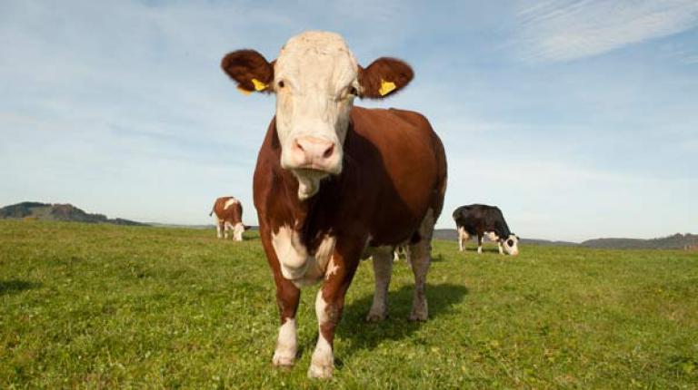 Während auf bayerischen Höfen und Feldern nach weltweit höchsten Standards hochwertige Lebensmittel und Bio-Energie erzeugt werden, ist der Einsatz von Hormonen und Gentechnik in den Vereinigten Staaten gang und gäbe.