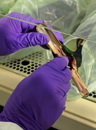 Kadaver einer Stockente wird auf Vogelgrippe-Erreger untersucht.