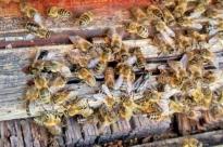 Am Flugloch oder am Boden vor den Beuten fallen die schwarzen Krabbler sofort ins Auge, die von W�chterbienen abgewehrt werden.