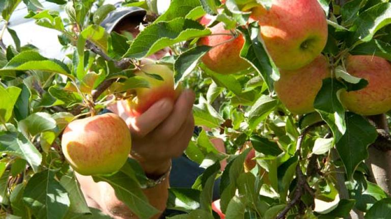 Mindestlohn belastet heimische Obst- und Gem�sebauern.