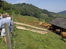 Mittelrahmige, behornte Limousin weiden bei Bernd Müller auf den steilen Schwarzwaldhängen.