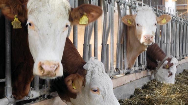 Wo die niedrigen Milchpreise hinf�hren ist ungewiss.