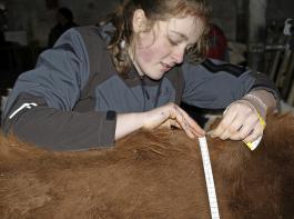 Der Brustumfang ist mit dem Gewicht der Jungtiere korreliert und gibt Hinweise, ob das Rind bald besamt werden kann.