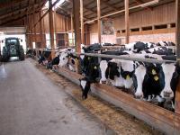 Holsteinstall-Fuetterung_lp.jpg