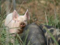 Freilauf-Schweine.jpg