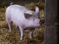 Mastschwein-Tr�nke.jpg
