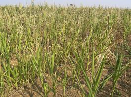 Ohne Wasser im Boden geht nichts, auch nicht bei der subtropischen Pflanze Mais. Die Aufnahme wurde Mitte August 2015 gemacht.