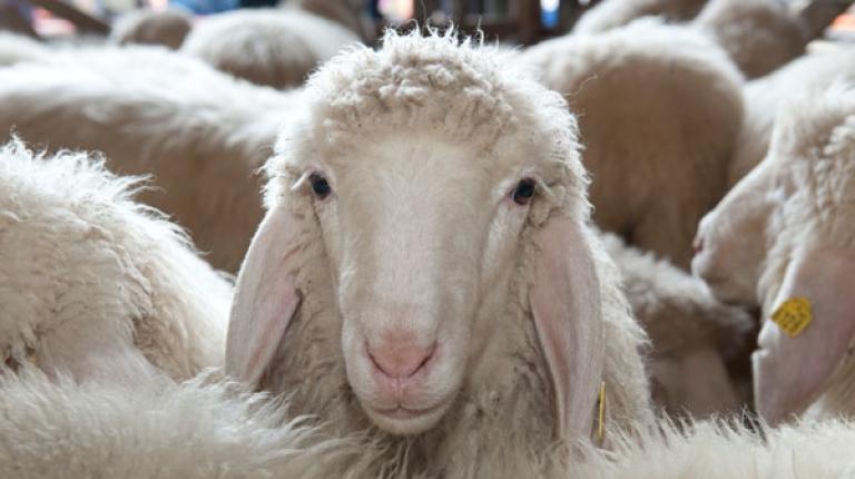 In Bayern sind bisher vor allem Schafherden vom Schmallenberg-Virus betroffen.
