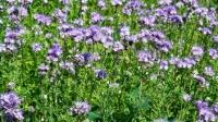 Zahlreiche Insekten, wie Bienen, Hummeln und Schmetterlinge, kann man im Blühstreifen beobachten