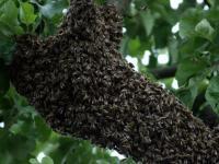 Bienenschwarum.jpg