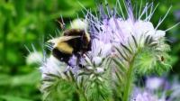 Die Blüten der Phacelia werden gerne von Bienen und Hummeln besucht.