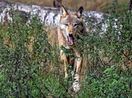 Auf Streifzug im Südwesten: Mittels genetischer Analyse von Rissspuren an Schafen wurde jetzt ein Wolf im Neckar-Odenwald-Kreis nachgewiesen.
