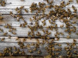 Das Verkleinern der Fluglöcher nach Trachtende durch Einlegen  eines Holzkeils schützt vor unliebsamer  Räuberei und  verhindert außerdem das Eindringen  von Mäusen in der  kühleren Jahreszeit.