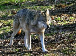 """In der """"Förderkulisse Wolfprävention"""" sollen  laut Informationen aus dem Umweltministerium ab  dem 1. Juni Wolfsrisse von Schafen, Ziegen und  Gehegewild nur noch dann  entschädigt werden, wenn die Anforderungen   des Ministeriums an den Herdenschutz erfüllt sind."""
