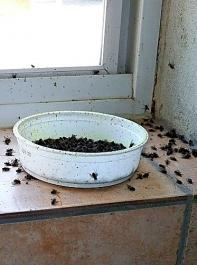 Das Ausbringen  von sogenannten Fraßgiften in Boxen/Behältern wirkt nur gegen adulte Fliegen.