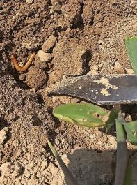 Auch Drahtwürmer profitieren von der Klimaerwärmung und Trockenheit und vermehren sich.