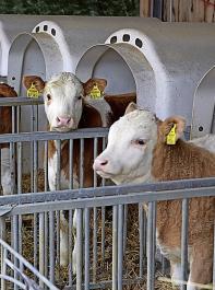 Bleiben die Jungtiere länger auf dem Hof, kann es sinnvoll sein, die Anzahl der Kälber zu reduzieren.