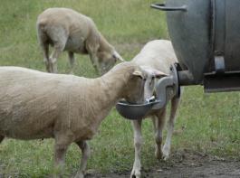 Zur Weidehygiene  gehört auch die Bereitstellung von Tränkwasser in  guter Qualität.
