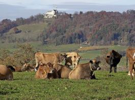 Die Kühe von Jürg Sprenger  sind während der ganzen Vegetationszeit auf der Weide und kommen nur zum Melken in den Stall.