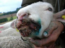 Massive Veränderungen an Nase und Maul  durch Blauzungenkrankheit bei einem Lamm.