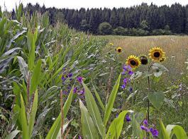 Wildpflanzenmischung neben Mais. Der Bestand veränderte von Jahr zu Jahr sein Aussehen.
