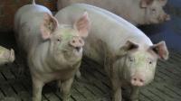 Mastschweine kurz vor dem Verkauf