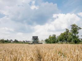 Zu niedrige Hektolitergewichte sind im Rheintal ein häufiges Problem bei Weizen.
