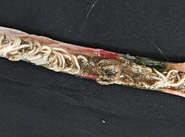 Massiver Spulwurmbefall im Darm eines Huhnes