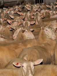 Schafe reagieren sehr empfindlich auf hohe Kupfermengen.