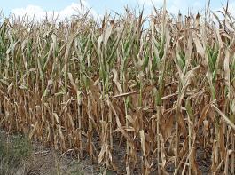 Trockenmassegehalte über 35 Prozent führen bei Mais  häufig zu Verdichtungsproblemen und damit zu einem erhöhten Nacherwärmungsrisiko.