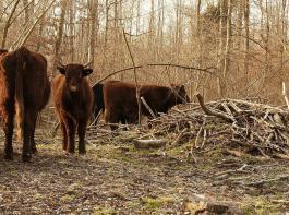 lm Auwald und angrenzenden Offenland von Kappel-Grafenhausen leben seit 2015 auf einer Fläche von knapp 100 Hektar rund 40 urwüchsige Robustrinder  der französischen Rasse Salers und eine kleine Herde Konik-Pferde. Sie sollen helfen, für einen lichten Wald mit  Eichen und Ulmen zu sorgen. Das Naturschutzprojekt generiert Öko-Punkte und vermindert so für die Landwirtschaft Druck auf Ackerflächen wegen Ausgleichsmaßnahmen. Die Rinder sind für Waldbesucher frei zugänglich. Hinweisschilder an selbstschließenden Toren weisen auf Verhaltensregeln hin.