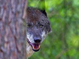Der BLHV bleibt der Überzeugung, dass eine Koexistenz von Wölfen und Weidertierhaltung hierzulande nicht möglich ist.