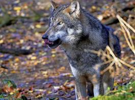 Nach Angaben des Bundesamtes für Naturschutz (BfN) gab es im Monitoringjahr 2019/20, das am 30. April 2020 zu Ende ging, bundesweit insgesamt 128 Wolfsrudel, 35 Paare sowie zehn Einzelgänger.
