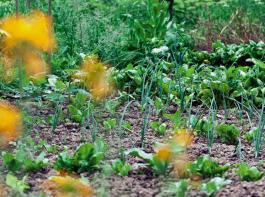 Elsa Kehnel gärtnert nach dem Prinzip der Misch- kultur, wie sie durch Gertrud Franck geprägt wurde. Wichtig bei dieser Anbaumethode ist es, positive und negative Pflanzenwechselwirkungen zu beachten.