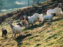 Ziegen mitführen ist  bei der Grünlandbewirtschaftung zulagenfähig.