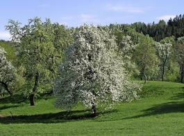 Die Unterschutzstellung kann sogar Besitzer dazu motivieren, wertvolle Streuobstbestände zu roden, wie dies bereits in Bayern geschehen ist, warnt der LOGL.