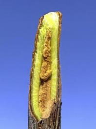Hagelschaden am Trieb einer Jungrebe. Dieser Trieb  eignet sich nicht für den Stammaufbau. Die Rebe muss zurückgeschnitten werden (Bildausschnitt Rebzweig).