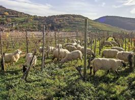 Die Schafe fressen die Begleitvegetation im Unterstockbereich und ebnen den Boden ein. Verholzte Triebe fressen sie nicht.