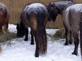 Nicht nur Ponys können mit ihrem Winterfell Kälte und Nässe vom Körper fernhalten. Voraussetzung ist allerdings ein gutes Raufutterangebot.