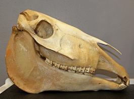 Der Kiefer des Pferdes ist lang und ohne Endoskop schwer einsehbar.
