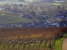 Nach der Weinlese eignen sich die Weinberge als Weidefläche für Schafe.