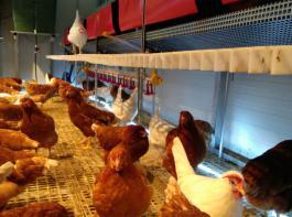 Licht unterhalb der Nestreihe zur Ausleuchtung dunkler Bereiche,  um verlegten Eiern vorzubeugen.