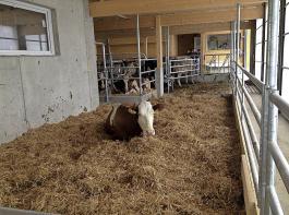 Die Abkalbebucht befindet sich in Sichtweite der Herde. Die Kuh kann mit ihren Kolleginnen an der Futterachse fressen.