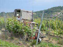 In Polen gab es in früheren Jahrhunderten schon einmal Reben, die dann nach und nach verschwanden.  Heute werden wieder über 400 Hektar bewirtschaftet, Tendenz steigend. Im Bild zu sehen sind Rebarbeiten im  Weingut Wieliczka. Die Hänge sind windgeschützt und nach Süden ausgerichtet.