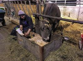 Die Starterkiste ermöglicht es der Kuh, zu fressen und das Kalb zu schlecken.