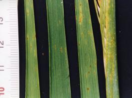Beginnender Ramularia-Befall an Gerstenblättern.