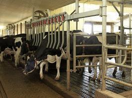 Auf dem Betrieb Frazer können mehrere Kühe zugleich durch  das Fingergatter  den Nachwartebereich zum Stall hin  verlassen.  Anschließend schlagen die Finger zurück gegen den Querträger  (die roten  Schlauchstutzen agieren dabei als Schalldämpfer).